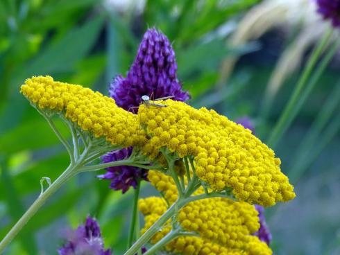 Frische-Kick: Die blauvioletten Blüten des Kugel-Lauchs (Allium sphaerocephalon) und die hell strahlend gelben Schirme von Goldgarbe 'Parker' (Achillea filipendulina) beweisen, dass Mut zur Farbe belohnt wird. (Bildnachweis: GMH/Bettina Banse)