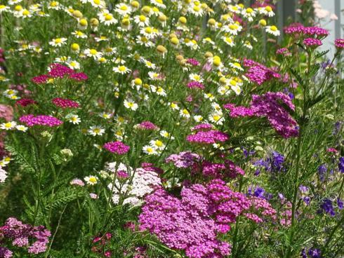 Wiesen-Feeling: Kamille (Chamomilla recutica), Feldrittersporn (Consolida regalis) und rosafarbene Schafgarben (Achillea millefolium) bilden ein wunderhübsches Trio. (Bildnachweis: GMH/Bettina Banse)