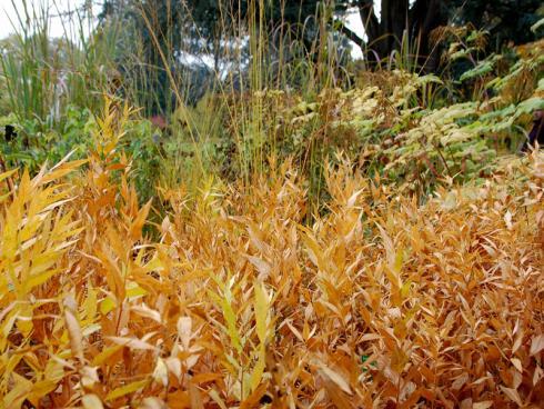 Herbstaspekte Zwischen dem ansprechend verfärbten Laub von Amsonia orientalis sprudeln Gräserfontänen empor. Eine Kombination, die selbst trübe Herbsttage belebt. (Bildnachweis: GMH/Bettina Banse)