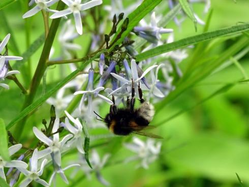 Neugierige Besucher Auch die Insektenwelt zeigt sich sehr interessiert an der blaublütigen Nordamerikanerin. (Bildnachweis: GMH/Bettina Banse)