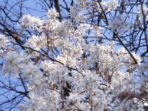 Die aus Amerika stammende Kupfer-Felsenbirne überzeugt mit einem kupferroten Austrieb, einer Vielzahl an weissen Blüten, essbaren Früchten und einer rötlichen Herbstfärbung. (Bildnachweis: GMH/GBV)