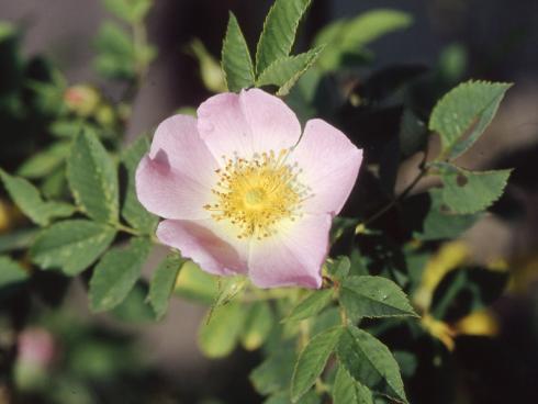 Zarte Blüten und leuchtend roten Hagebutten bringt die Hunds- oder Heckenrose in den Naturgarten. Sie braucht keinen Rückschnitt. Bei Bedarf kann gestutzt werden, allerdings sollte man die Triebe des letzten Jahres verschonen, da an ihnen die Blütenknospen wachsen. (Bildnachweis: GMH/GBV)