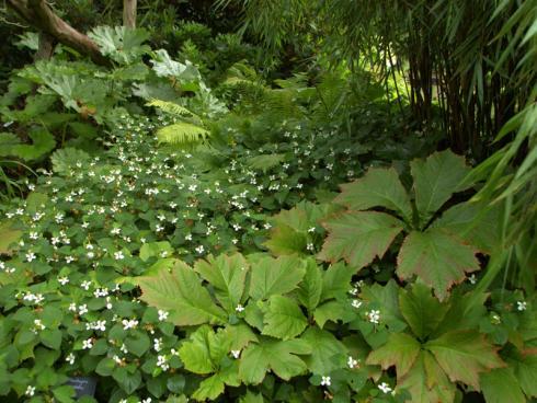 Tropenflair Mit Bambus, Farnen, Schaublatt (Rodgersia) und dem bodendeckenden Eidechsenschwanz (Houttuynia) lassen sich auf feuchten Böden üppige Pflanzenbilder kreieren. (Bildnachweis: GMH/Bettina Banse)