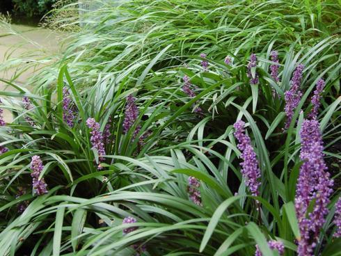 Grandiose Wirkung Außerhalb der Blütezeit elegant, während der Blüte extravagant! Lilientrauben (Liriope; hier mit Hakonechloa macra) sind echte Designerpflanzen – und überaus robust. (Bildnachweis: GMH/Bettina Banse)