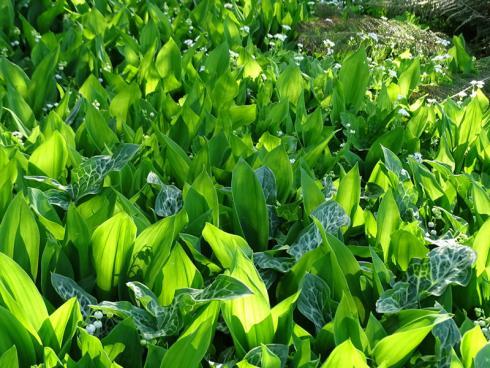 Dreamteam Für eindrucksvolle Effekte genügen oft schon wenige Pflanzenarten. Maiglöckchen (Convallaria majalis) und der fantastische Aronstab 'Marmoratum' (Arum italicum) beispielsweise sind beide giftig, aber wunderschön und unverwüstlich. (Bildnachweis: GMH/Bettina Banse)