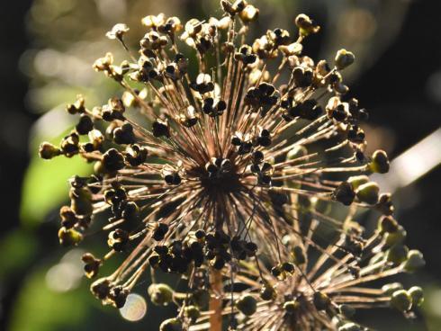 Grandioser Auftritt: Ist es Floras Zepter oder ein in Schönheit erstarrtes Feuerwerk? Der Kugel-Lauch zieht nicht nur während der Blüte alle Blicke auf sich, seine Fruchtstände sind mindestens ebenso markant und regen die Fantasie an. (Bildnachweis: GMH/Anne Eskuche)