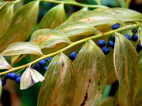 Meister der Eleganz: Erst schmücken weiße Blütenglöckchen die geschwungenen Triebe des Salomonssiegels (Polygonatum), dann leuchten dunkelblaue, bei Vögeln begehrte Beeren unterm herbstlich verfärbten Laub. (Bildnachweis: GMH/Bettina Banse)