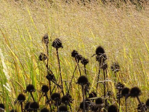 Pauken und Harfen: Sonnenhut (Echinacea) und Rutenhirse (Panicum) sind ein echtes Traumpaar. Den ganzen Herbst und Winter hindurch zieren sie den Garten und locken unter anderem Distelfinken an. (Bildnachweis: GMH/Bettina Banse)