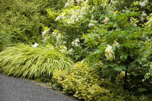 Fast wie ein Sprudelstei: Obwohl auch Hakonechloa eher filigrane, schmale Halme besitzt, bringt der Blätterhorst als Ganzes Ruhe in die Gemeinschaft kleinblättriger Stauden und Gehölze (Bildnachweis: GMH/Bettina Banse).