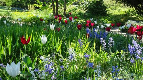 Frühlingsstimmung: Tulpen und Hasenglöckchen (Hyacinthoides) leuchten mit dem frischen Austrieb von Hakonechloa macra um die Wette – und werden nach der Blüte gnädig von den Gräserhorsten verhüllt. Foto: Bettina Banse