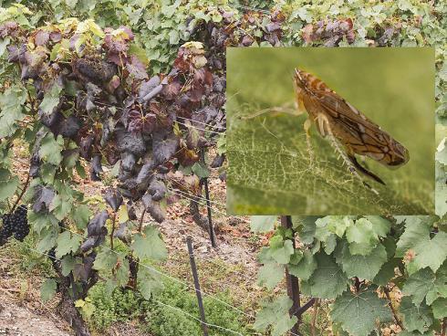 Bild AGROSCOPE: Symptome der Goldgelbenvergilbung an Weinreben - Die Zikade, Vektor der Krankheit