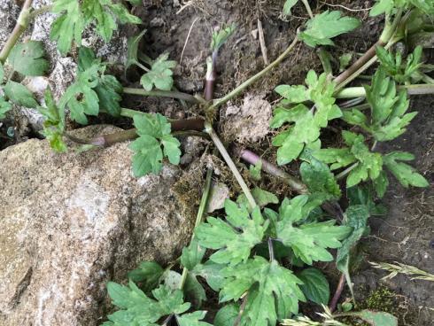 Bild garten.ch: Ein Hahnenfuss der sich über Ausläufer in den Beeten verbreitet. Er lässt sich einfach durch ausstechen bekämpfen.