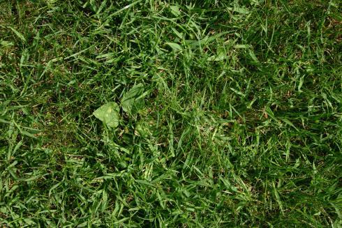 Bild garten.ch: Hirse und breitblättrige Unkräuter verdrängen die Rasengräser und führen zu kahlen Stellen.