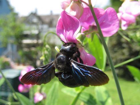 Die Blauschwarze Holzbiene nistet im Holz, ist auf Totholz angewiesen © bienen.ch