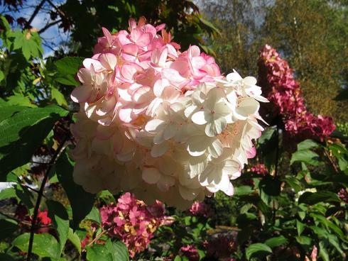 Bild garten.ch: Hortensien eignen sich gut als Kübelpflanzen.