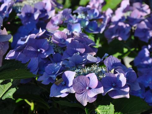 Bild garten.ch: Blaue Hortensien für den Garten