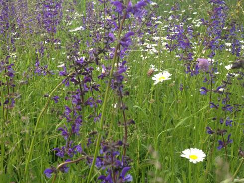 Bild garten.ch: Wiesensalbei und Margriten eignen sich bestens für Blumenwiesen. Sie sind robust und überleben es, wenn Kinder die Wiese betreten und ein paar Blumen pflücken,