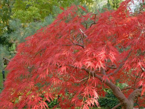 Bild: Zierahorn in schönster Herbstfärbung
