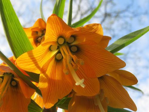 Bild garten.ch: Kaiserkrone Detail der Blüte. Auf Mauerkronen gepflanzt geben sie auch Einblick von unten.