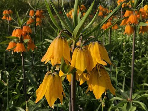 Bild garten.ch: Die Kaiserkrone trägt ihren Namen zu recht. Mit ihrer Grösse und Fülle von Blüten sind sie ein Blickfang.