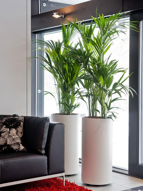 Bildnachweis GMH/FvRH: Edle Erscheinung: Kenita-Palmen (Howea forsteriana) sind pflegeleicht und damit ideale Zimmerpflanzen auch für Einsteiger. Dabei kommen die Pazifik-Schönheiten sogar mit wenig Licht aus. (