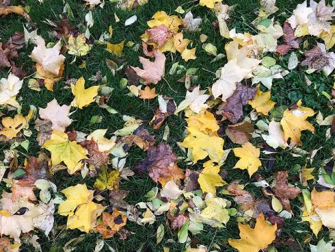 Bild garten.ch: Laub auf Rasenflächen kann man in lockerer Form liegen lassen. Bildet es eine dichte Decke, muss man es entfernen.