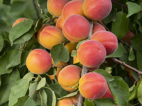 Bild Agroscope: Aprikosenneuzüchtung Lisa