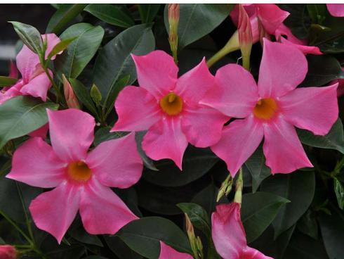 Bild: garten.ch - genügend Nährstoffe ergibt reichliche Blüte