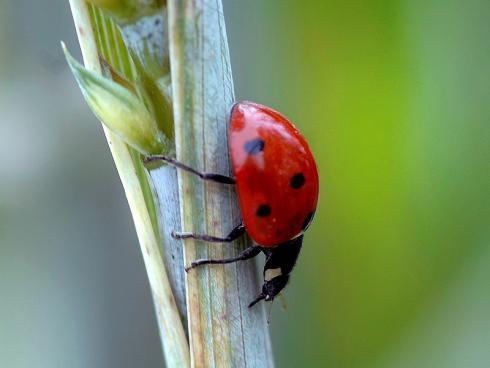 Die Larven der Marienkäfer, hier ein adultes Tier, sind gefrässige Räuber und wichtige Nützlinge (Gabriela Brändle, Agroscope)