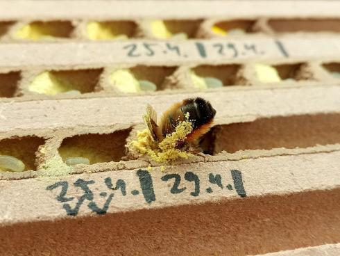 Eine Mauerbiene (Osmia bicornis) setzt Pollen in eine Zelle ihres Nests ab (Philipp Eckerter, Universität Koblenz-Landau)