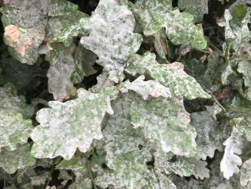 Bild garten.ch: Mehltau auf Eiche, die Sporen verteilen sich auch in der Umgebung und befallen anfällige Stauden und Rosen im Garten.