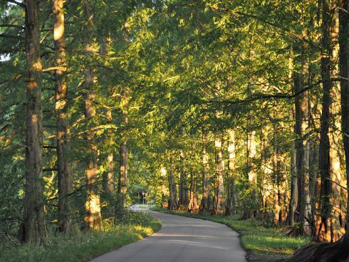 Bild garten.ch: Allee mit Metasequoia