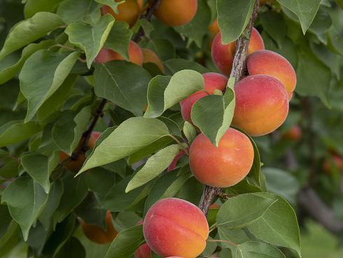 Bild Agroscope: Aprikosenneuzüchtung Mia