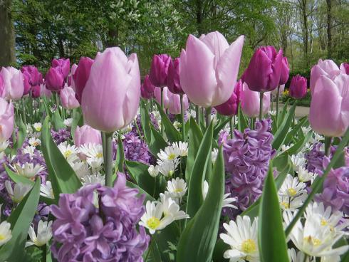 Bild garten.ch: Im Farbton abgestimmte Mischung von Blumenzwiebeln. Tulpen, Hyazinthen, Anemonen