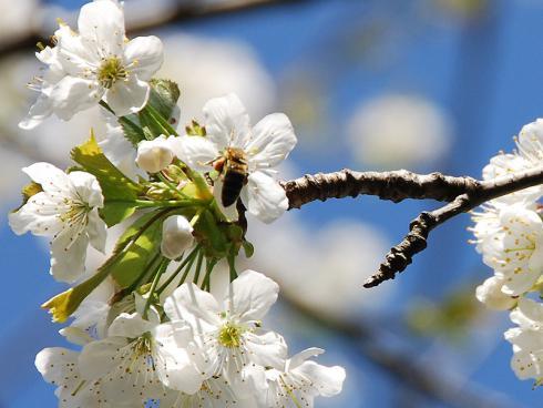 Bild BGL: Kirschblüten sind reichhaltige Nektar- und Pollenlieferanten und werden von Bienen, Hummeln und Co. bis in den Mai gerne angeflogen.