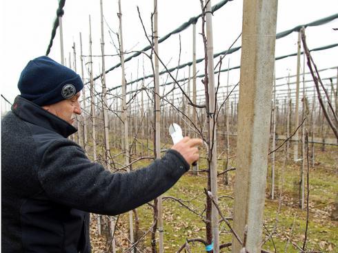 Bild: GMH: Jetzt ist Zeit für den Winterschnitt: Moderne Obstgehölze bleiben klein, müssen für einen hohen Ertrag und aromatische Früchte aber in Form gehalten werden.