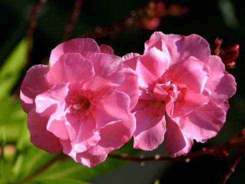 Bild garten.ch: Oleander in voller Blüte