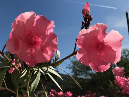 Bild garten.ch: Der Oleander schützt sich gegen die starke Verdunstung mit einer Wachsschicht auf den Blättern.