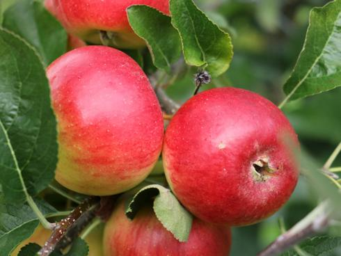 Bild Lubera GmbH: Paradis® Crispolino® - die neue Apfelsorte von Lubera®