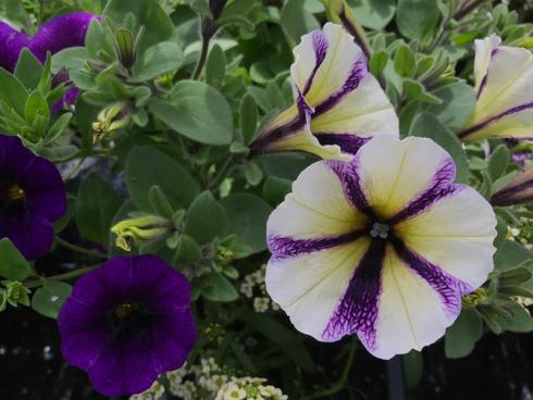 Bild garten.ch: Ein weiterer Klassiker sind die Petunien. Sie benötigen mit ihren grossen Blüten einen geschützteren Standort.