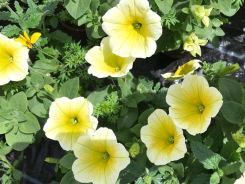 Bild garten.ch: Kleinblütige Petunien eignen sich auch für die Auspflanzung in Beete.