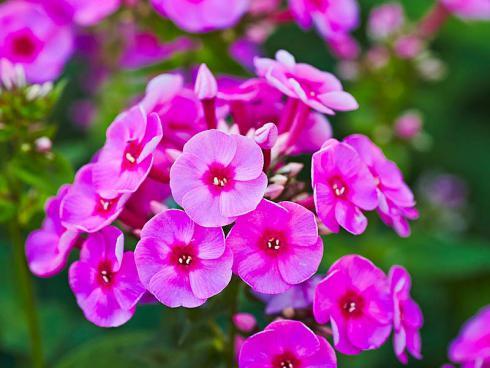 Bild: Green Pflanzenhandel  Serie Adessa Deep Purple