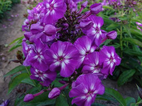 Bild: Green Pflanzenhandel Serie Adessa Purple Star Volmary