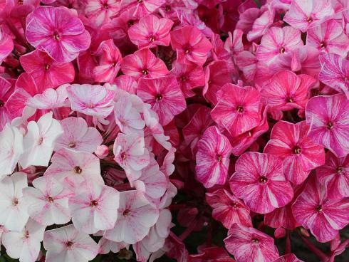 Bild: Green Pflanzenhandel Serie Freckie Red Shades