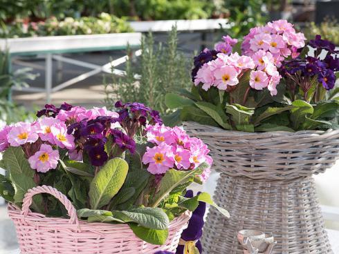 Bild GMH/FGJ: Aktueller Farbtrend: Drinnen und draussen sind Primeln und Ranunkeln in frischem Flieder ein toller Frühlingsgruss.