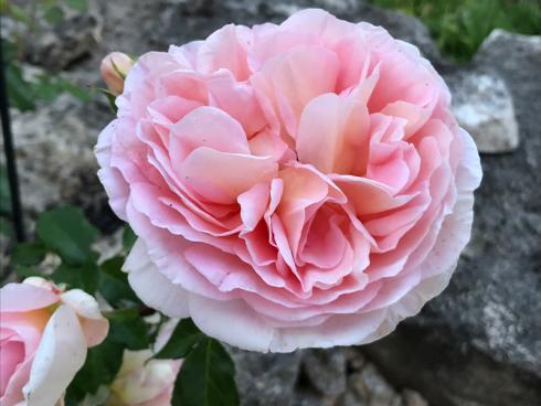 Bild garten.ch: Duftende Pflanzen leisten einen Beitrag zur Entspannung. Rosen sind diesbezüglich besonders beliebt. Bei der Neupflanzung ist auf die entsprechenden Resistenzen zu achten. Es lohnt sich dabei auch ein Blick auf ältere Sorten.