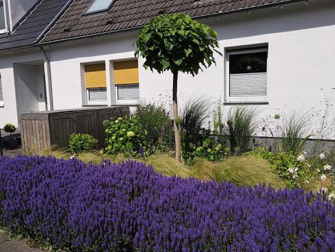 Bild BGL: Steppen-Salbei betört mit würzigem Duft und intensiver Farbe. Pflanzt man ihn grosszügig, sind die lilafarbenen Blütenstände ein wahrer Blickfang, den auch Bienen und Schmetterlinge zu schätzen wissen. Eindrucksvoll ist die Kombination mit feinen Gräsern.