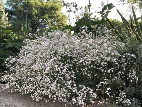 Bild garten.ch: Schleierkraut zweite Blüte nach Rückschnitt
