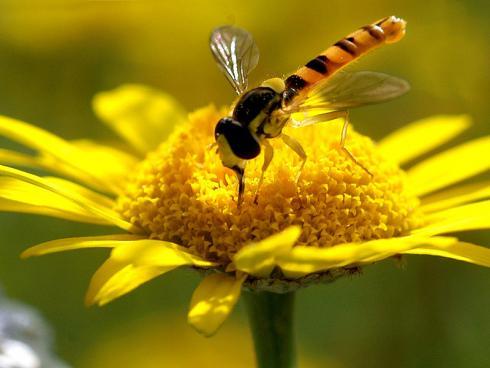 Adulte Schwebfliegen sind effiziente Bestäuber (Gabriela Brändle, Agroscope)