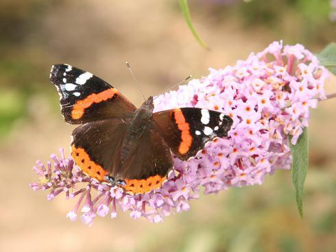 Bild BGL: Für ihre Ernährung benötigen die meisten Insekten Nektar und Pollen, die sie in den Blüten von Pflanzen finden.